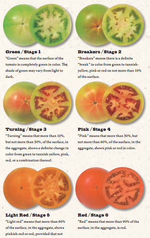 Tomato Ripening Stages.png